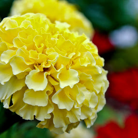 Yellow by Jake Barrows - Nature Up Close Flowers - 2011-2013 ( red, yellow, garden, flower, close )