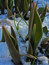 Photo: Pavasario lygiadienis 2012-03-20 Tulpių žiedų dar nematyti, tačiau lapai – kaip iškilmingai ir tiesiai stovi jų žvakės, švytinčiais rausvais galiukais – ne, žiema nebegrįš, tik šiauriniai vėjai pasiautės dar dieną-kitą ir nurims.  Diena susilygino su naktimi, ir toliau ji kasdien trumpins naktį, kol galiausiai visame šviesume pasidabins Rasų Vainiku. Su pavasariu!