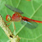 The coral-tailed cloudwing dragonfly