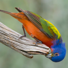 Painted Bunting Drinking by Sandy Hurwitz - Animals Birds