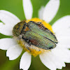 Pygopleurus humeralis