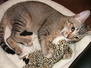 """Photo: Cairo's foster mom gave me this bed and the little leopard, Cairo's """"litter mate."""""""