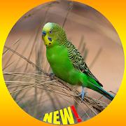 Budgerigar Bird Wallpaper HD