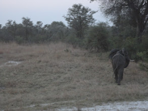 Photo: And an elephant crossing