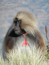 Photo: Gelada in Simien Mountains National Park