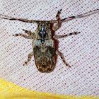 Flat-Faced Longhorns Beetle