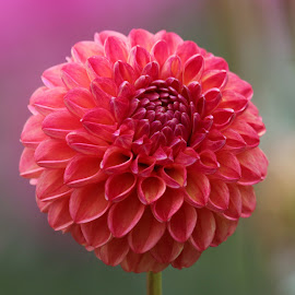Dahlia 981 by Raphael RaCcoon - Flowers Single Flower