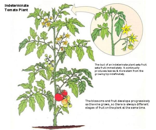 how to prune tomato with blossom end rot
