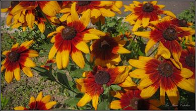 Photo: Turda - Str. Trandafirilor, Bulgari de soare, Margareta galbena, Black-eyed Susan. (Rudbeckia..) - 2019.07.09