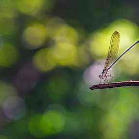 Damsel fly on a twig. by John Greene - Animals Insects & Spiders ( blurred background, nature, winged insect, damsel fly, thailand, chantathen waterfall, john greene, insect )