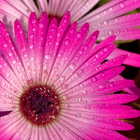sparkling star by Bharat Dudeja - Nature Up Close Flowers - 2011-2013 ( water drops, nature, garden, flower, droplets )