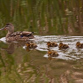 Duckies by Manuel Balesteri - Animals Other Mammals ( babies, pwcbabyanimals, bill, ducks, feathers )