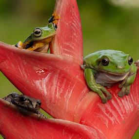 by Eko Probo D Warpani - Animals Amphibians ( animals, nature, frog, indonesia, nikon, cute, close up, kodok, amphibians,  )