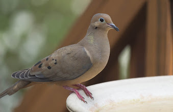Photo: Day 77-Mourning Dove