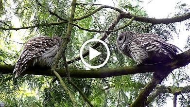 Video: More mating calls