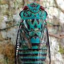 Emerald Cicada