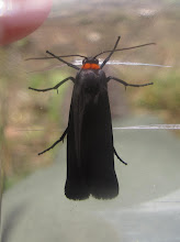 Photo: Red-necked footman moth 7th June 2015 © Keith Gittens 2015