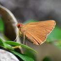 Common RedEye (Skipper)