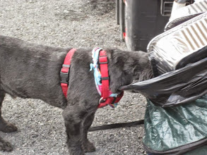 Photo: Koda in the trash looking for some yummy TRASH!!
