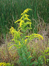 Photo: Early Goldenrod, 9.9