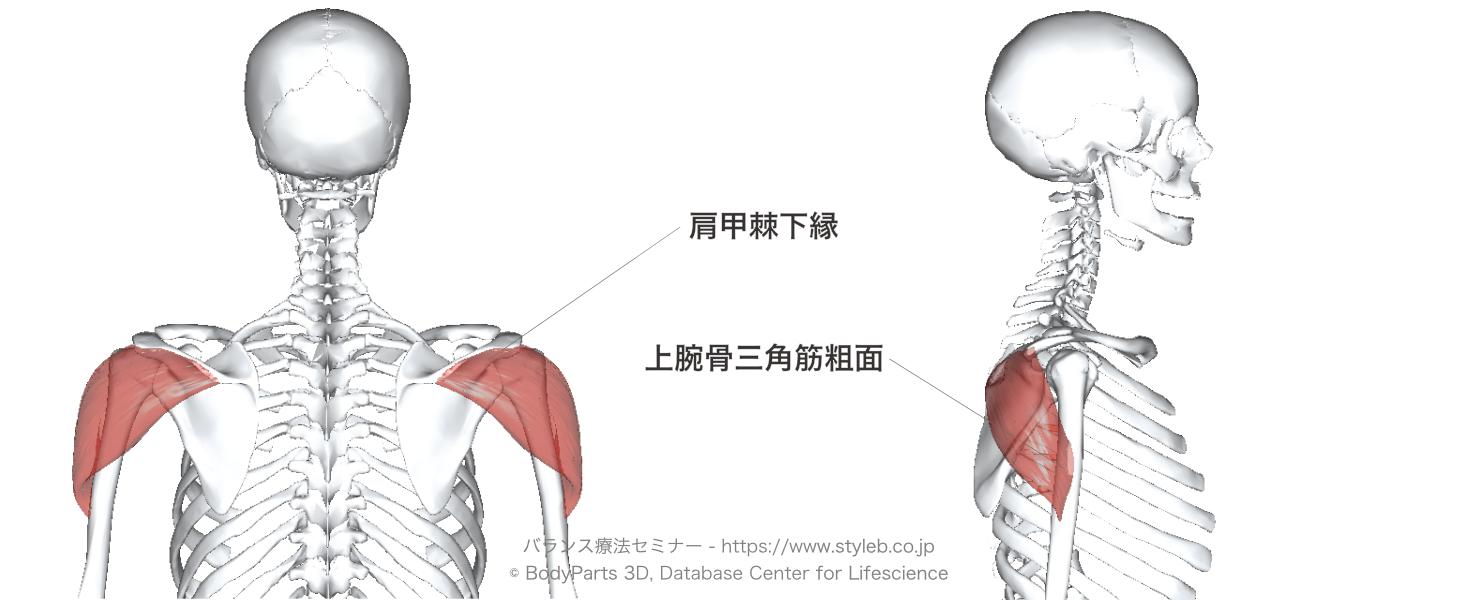 三角筋後部繊維