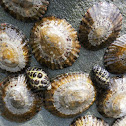 Variegated Limpet