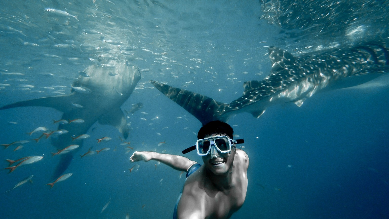 dive or swim with whale sharks