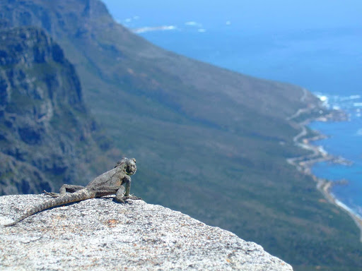 Cape-Town-lizard - A lizard near Cape Town wonders what makes the ocean blue.