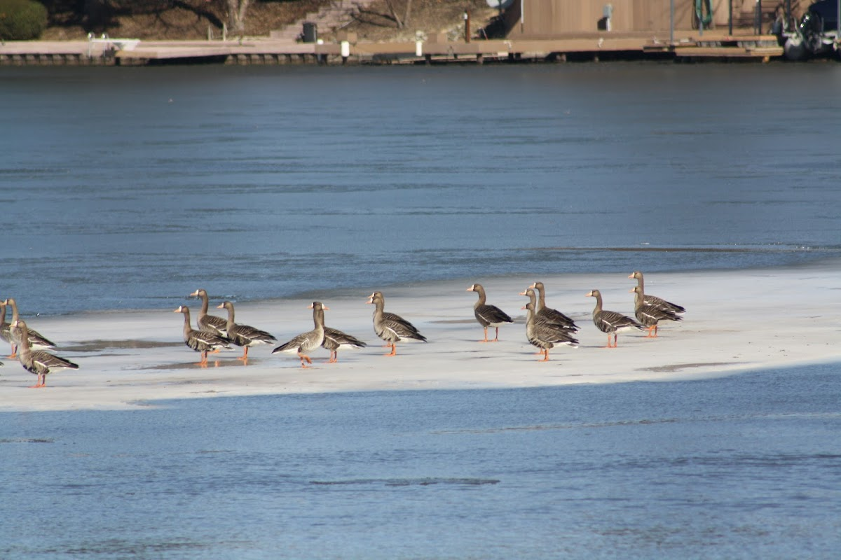 Great White - fronted Geese