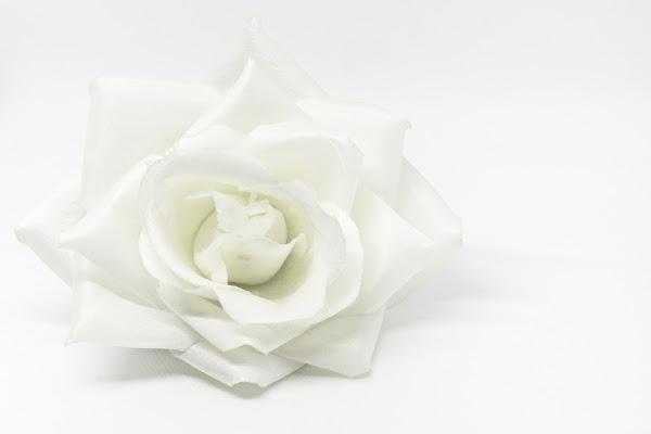 rosa bianca di ValentinaGiuca