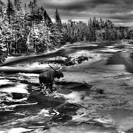 Moose in the river by Paul Drajem - Landscapes Waterscapes ( rivers, waterscape, winter, frozen, cold, moose, river, black and white, landscape,  )