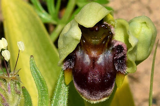 Photo: Ophrys bombyliflora, ofride fior di bombo