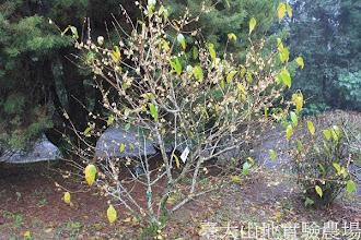 Photo: 拍攝地點: 梅峰-辦公室前 拍攝植物: 蠟梅 拍攝日期: 2013_12_20_FY