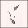 笹の葉のまとわり