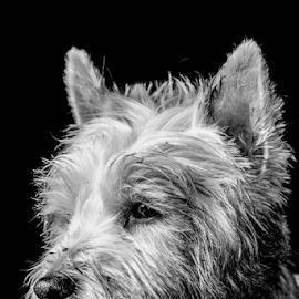 Poppy by Garry Chisholm - Black & White Animals ( wht, canine, dog, west highland terrier, garry chisholm )