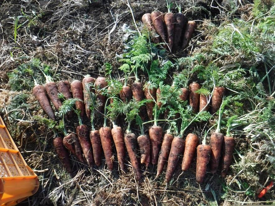 黒田五寸人参、この日は16kg収穫しました。