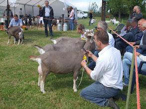 Photo: Rubriek 9: eenjarige toggenburger geiten. 1a. Suzanne 14, 1b. Suzanne 18, 1c. Suzanne 16, 1d. Asmi, 1e. Suzanne 22.