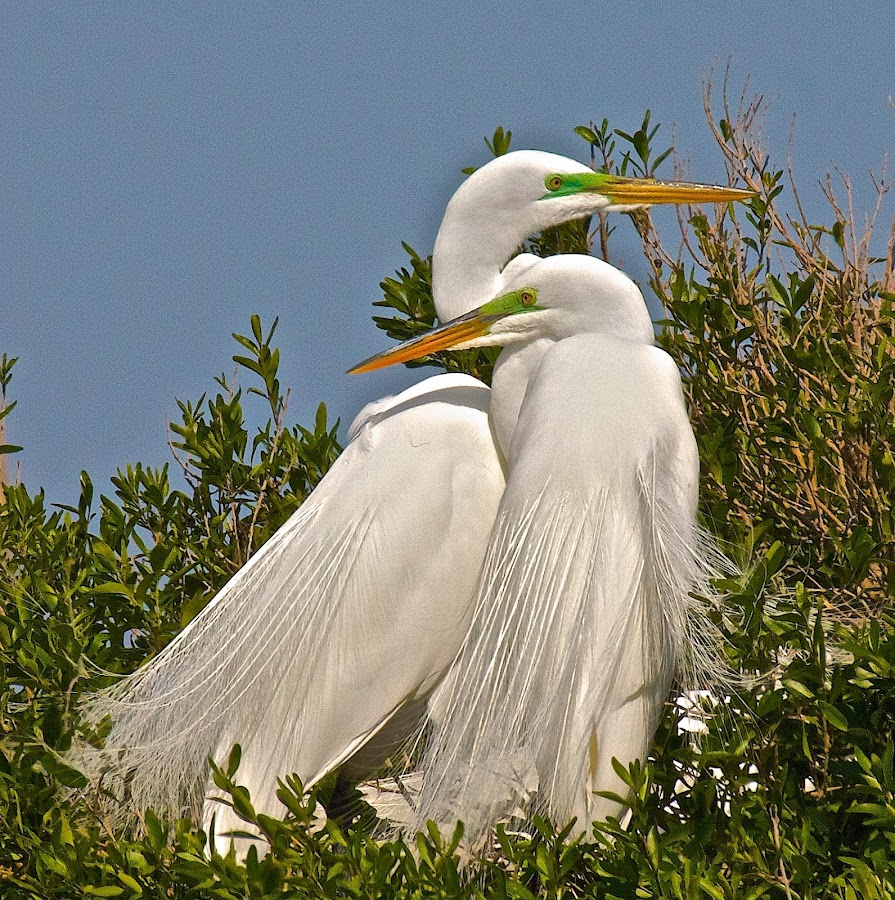 by Tracey Goodwin - Animals Birds ( animals, nature, nature up close, wildlife, birds, couples, great egret,  )