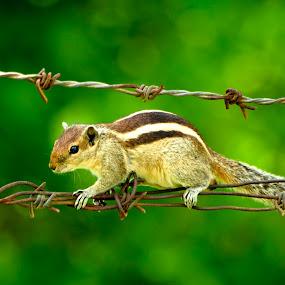 Squrill by Manjunath Nagesha Rao - Animals Other