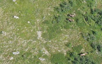 Photo: Älgtjurar vid Daimadalen
