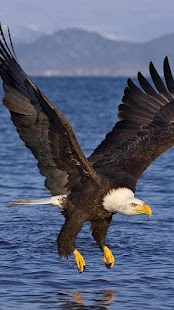 Eagle Wallpapers for PC-Windows 7,8,10 and Mac apk screenshot 4