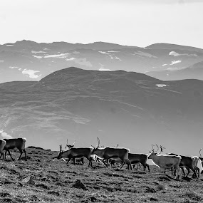 Norway by Morten Johnsrud - Black & White Landscapes ( sony, reindeer, nature, landscape, jotunheimen, norway, a200 )