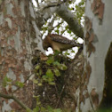 Red-Shouldered Hawk (nesting)