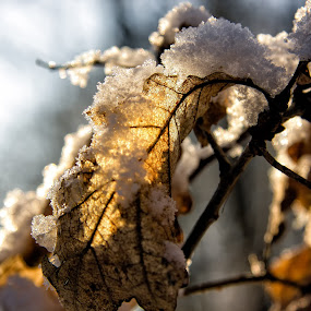by Leigh Brooksbank - Nature Up Close Leaves & Grasses ( winter, foliage, snow, frost, forest, woodland, leaves )