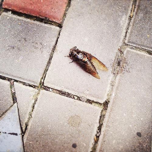 Hong Kong, Cicada,  香港, 蟬