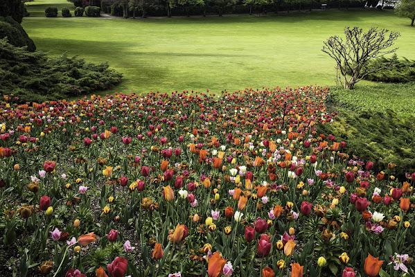 Tulipani multicolori