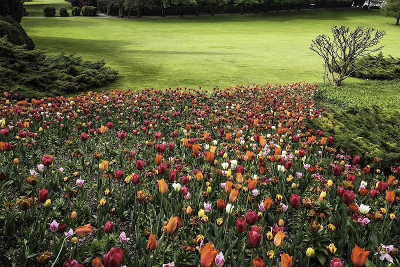Tulipani multicolori di Fiore Doncovio