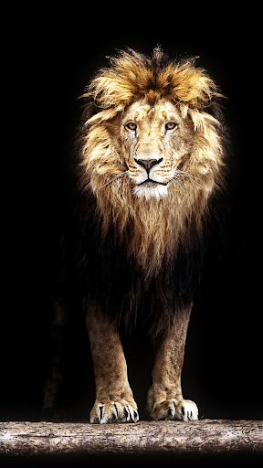 Lion Wallpapers ss3