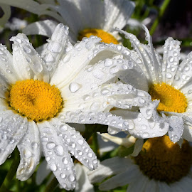 They need rain by Denton Thaves - Flowers Flower Gardens ( daisies )