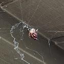 Hentz Orbweaver, Spotted Orbweaver, Barn Spider